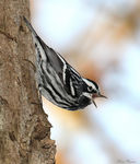 Title: Black-and-white Warbler.