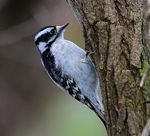 Title: Downy Woodpecker (Female)