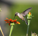 Title: Ruby-throated Hummingbird (Female)