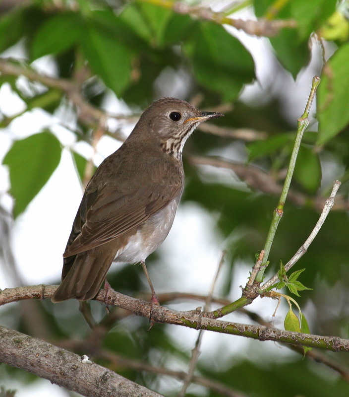 Gray-cheeked Thrush (Cathrus minimus)