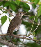 Title: Gray-cheeked Thrush (Cathrus minimus)