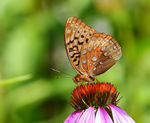 Title: Great Spangled FritillaryCanon 5D Mark III