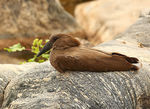 Title: Hammerkop (Scopus umbretta)