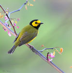 Title: Hooded Warbler (Male)