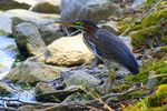 Title: Immature Green-Backed Heron