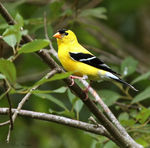 Title: American Goldfinch (male)