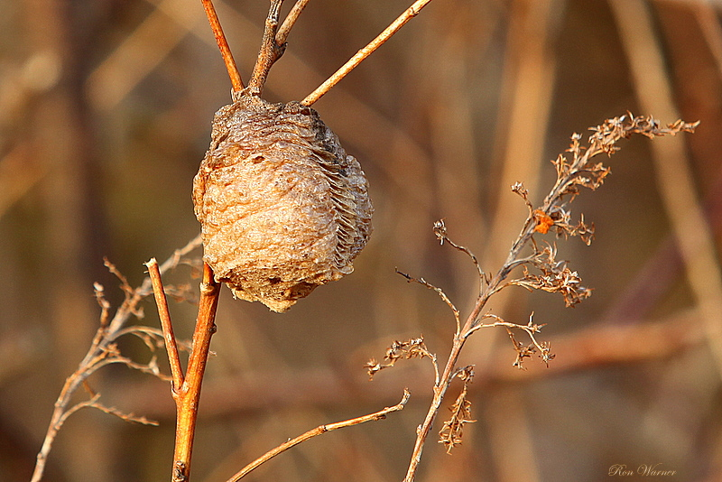 Mantis (ootheca) Cocoon