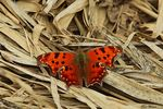 Title: Question Mark(Polygonia interrogationis)