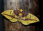 Title: Imperial Moth (Female)