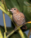 Title: House Finch (female)