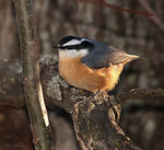 Title: Red-breasted Nuthatch