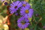 Title: New England Aster