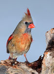 Title: Northern Cardinal (Female)