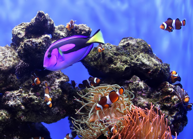 Palette surgeonfish and Clown Fish