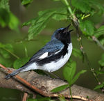 Title: Black-throated Blue Warbler