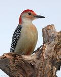 Title: Red-bellied Woodpecker (Male)