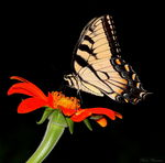 Title: Tiger Swallowtail (Papilio glaucus)