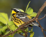 Title: Magnolia Warbler (Spring Male)Canon 5D Mark11
