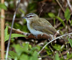 Title: Red-eyed Vireo