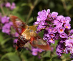 Title: Hummingbird Moth (Hemaris thysbe)Canon 5D Mark11