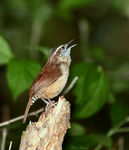 Title: Carolina Wren (Thryothorus ludovicianus)Canon 5D Mark11