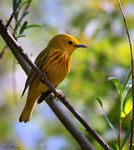 Title: Yellow Warbler (Male)Canon 5D Mark11