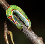 Title: Variable Oakleaf Caterpillar
