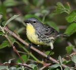 Title: Kirtland Warbler (Extremely Rare)