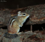 Title: Eastern Chipmunk (Eutamias)