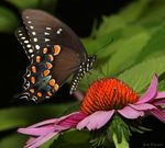 Title: Black Swallowtail Papilio polyxenes) Camera: Canon 5D Mark11