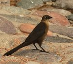 Title: Great-tailed Grackle (Female)