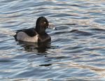 Title: Ring-necked Duck