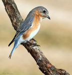 Title: Eastern Bluebird (Female)