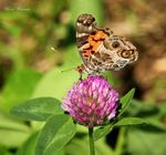 Title: American Painted Lady