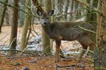 Title: Young Whitetail