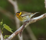 Title: Cape May Warbler (Dendroica tigrina)