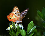 Title: White Peacock (Anartia jatrophae)Canon 5D Mark11
