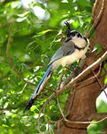 Title: White-throated Magpie-Jay