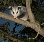 Title: Opossum In Persimmon TreeCanon 5D Mark11