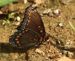 Title: Red-spotted Purple