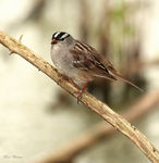 Title: White-crowned SparrowCanon 5D Mark11