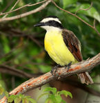 Title: Great Kiskadee (Pitangus sulphuratus)Canon 5D Mark11