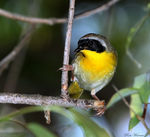 Title: Common Yellowthroat (Geothlypis trichas)Canon 5D Mark11
