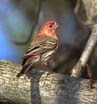 Title: House Finch (Male)