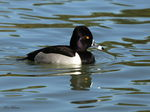 Title: Ring-necked Duck (Drake)