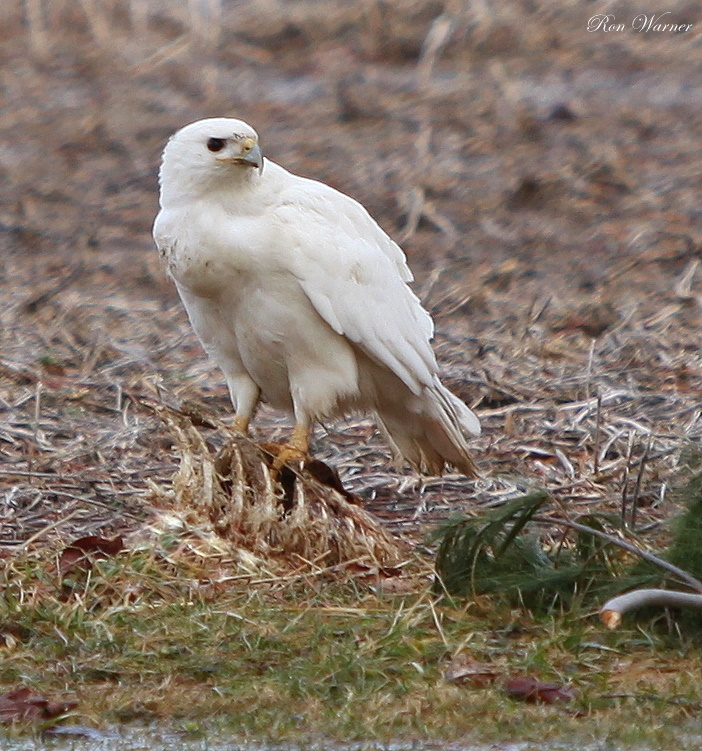 Partial Albino Red-tailed Hawk