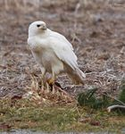 Title: Partial Albino Red-tailed Hawk