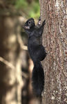 Title: Black Squirrel