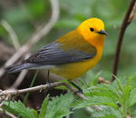 Title: Prothonotary Warbler (Male)Canon 5D Mark11