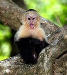 Title: White Faced Monkey